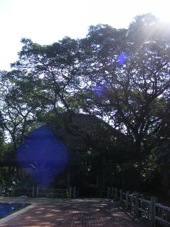 Kaomai Lanna Resort: Big tree touched by the sunlight