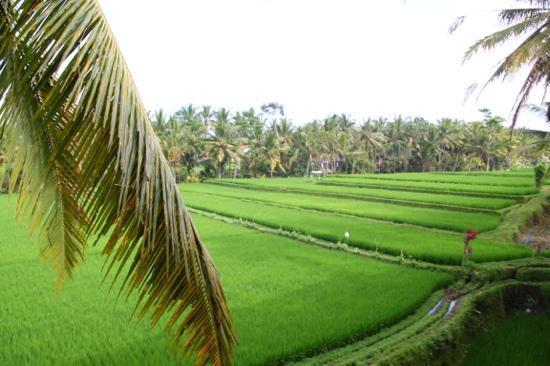Junjungan Ubud Hotel and Spa: vue de la chambre, toutes sur rizieres