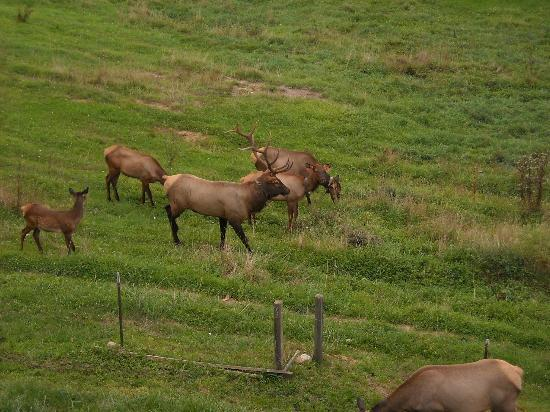 Twinbrook Resort: Elk herd in pasture behind cabin