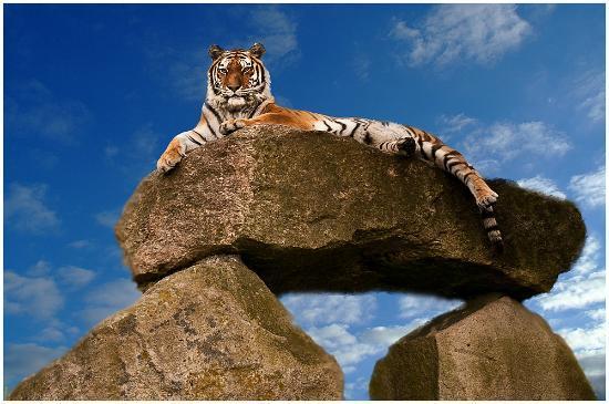 Dartmoor Zoological Park: Tiger 1