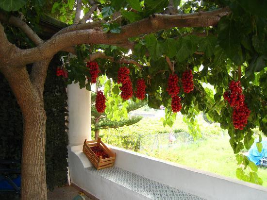 Leni, Italia: Albero dei ciliegini
