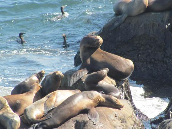 The Bed & Breakfast Inn at La Jolla: Seals in walking distance!