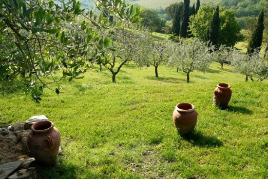 B&B Fagiolari: Olive groves on the Il Fagiolari property
