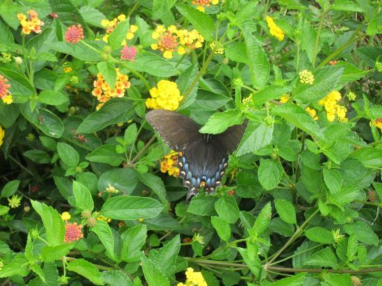 Hampton National Historic Site: Butterfly enjoying the garden