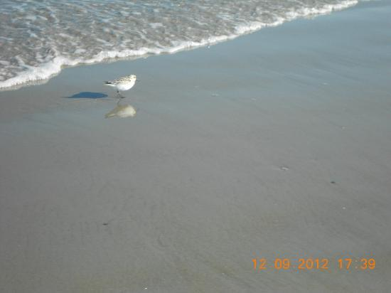 Normandie Oceanfront Motor Inn: typical beach bird, not certain what kind.