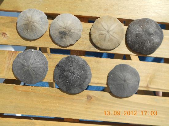 Normandie Oceanfront Motor Inn: SAND DOLLARS found on beach.