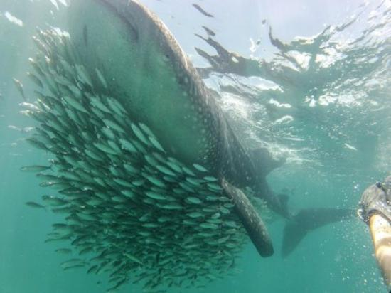 Underwater expeditions -  Tour Tiburon Ballena: My son keeping just ahead of big mama!