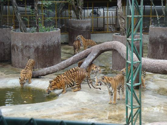 Chonburi, تايلاند: tigers
