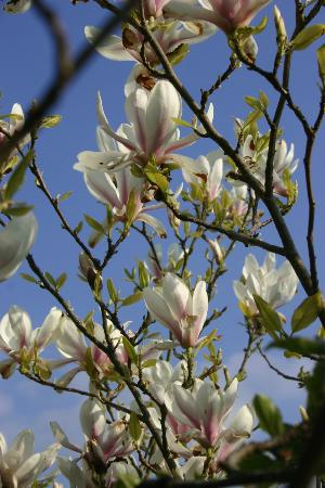 Fermanagh Self Catering: One of magnolias in bloom by the patio