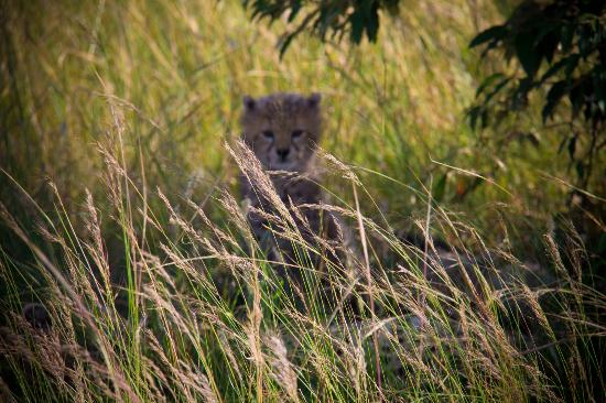 Kichakani Mara Camp: cheetah cub - we were within metres