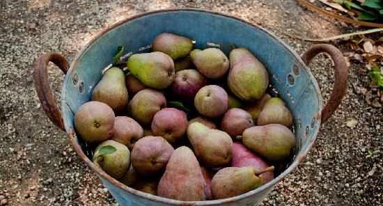 The Madrones: Pears from our Sugar Hill Farm