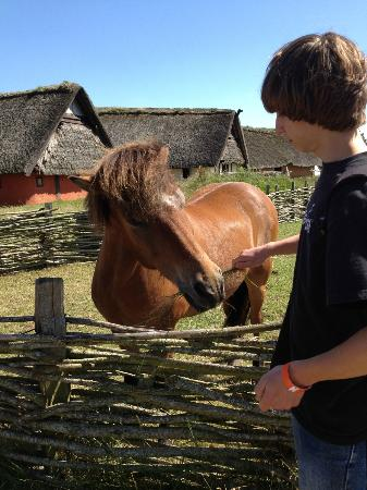 Ribe Vikinge Center: Feeding the Icelandic horses
