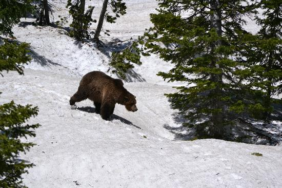 Lamar Valley: Scarface the Grizzly