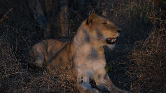 Pondoro Game Lodge: Lion on Game Drive (photo by s.needles)