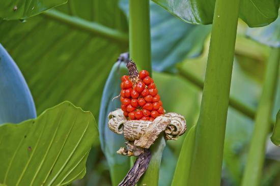 Flor de la planta denominada oreja de elefante picture for Planta ornamental oreja de elefante