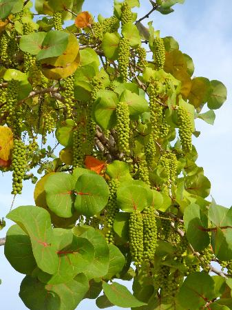 Couples Negril: Sea grape tree on the beach