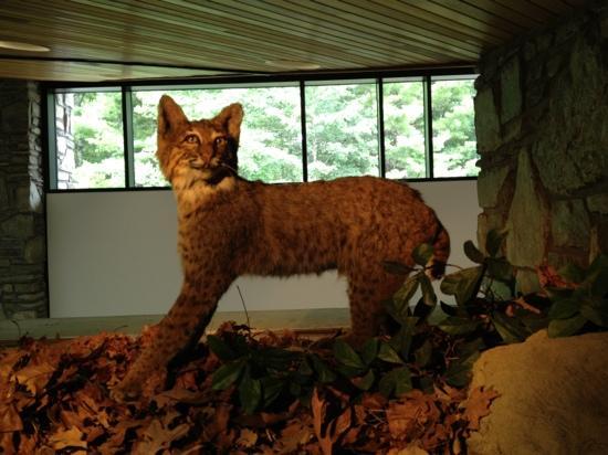 Pisgah Forest, NC: bobcat!