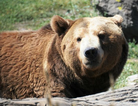 Yellowstone Country Bed and Breakfast : Montana Grizzly Encounter in Bozeman