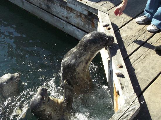 Harbour Towers Hotel & Suites: Harbor Seals at Victoria BC Marina
