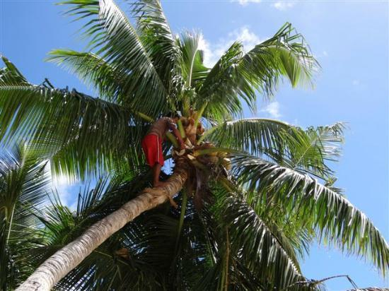 Paradise Cove Lodges : Cutting the coconuts and trimming the trees
