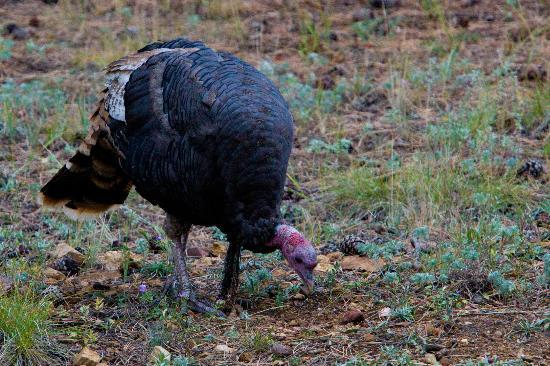 The Evergreens on Fall River: A wild turkey in the yard
