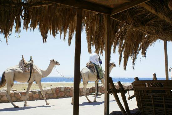 Sindbad Camp: Camels passing by while having lunch in the Camp