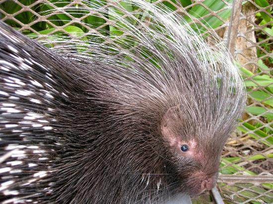 Malvern Manor Country Guest House: Porcupine, seen on the property.