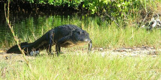 Jungle Erv's Everglades Airboat Tours: Gator walking to the Boat