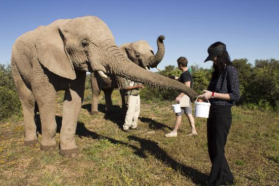 Buffelsdrift Game Lodge: Feeding elephants