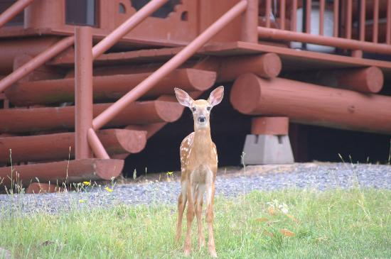 Pictou Lodge Beachfront Resort: Visit by local wildlife is common