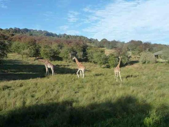 Livingstone Lodge: giraffes