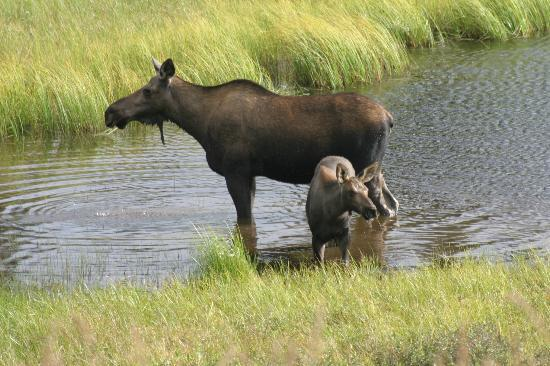 Camp Denali: Moose visiting the pond