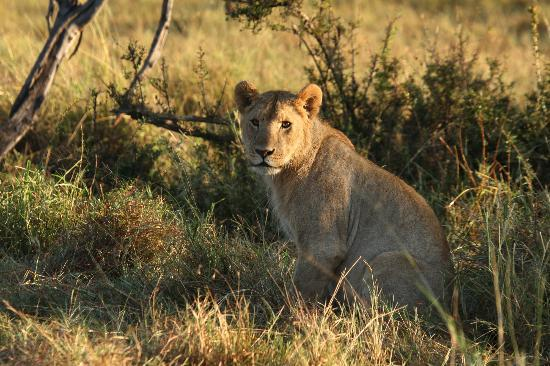 Porini Lion Camp : Lots of lions at this camp!