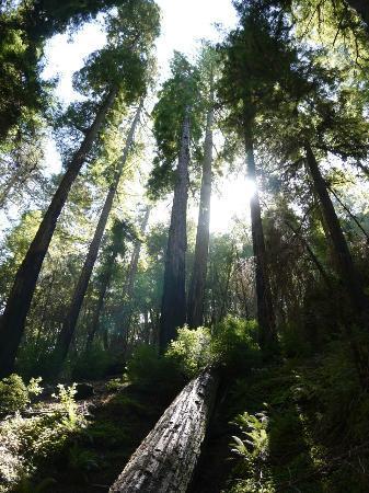The Mendocino Tree: Montgomery State Reserve
