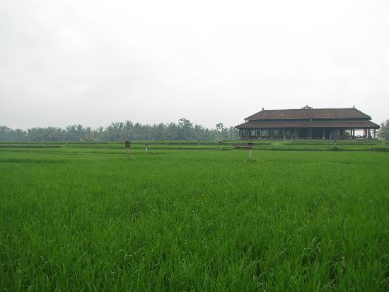 The Chedi Club Tanah Gajah, Ubud, Bali – a GHM hotel: rice field