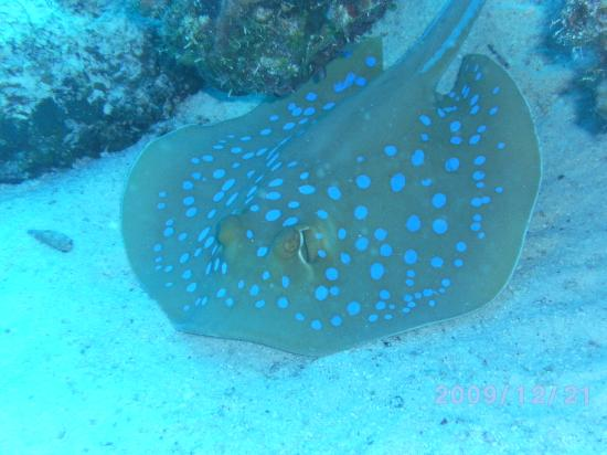 Diamond Red Sea Divers: Several rays!