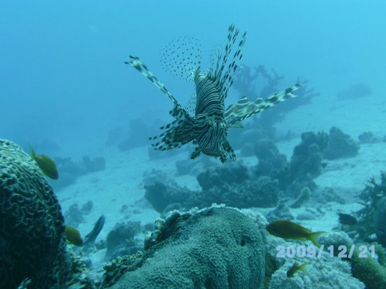 Diamond Red Sea Divers: A great variety of interesting fish