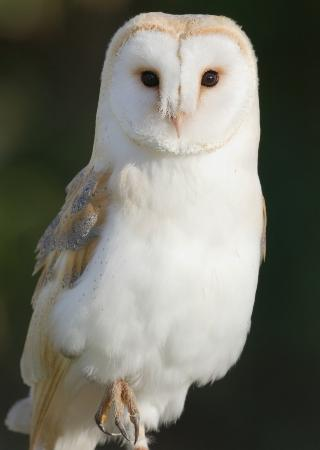 Tullow, İrlanda: Cupid the Barn Owl