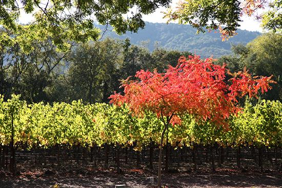 Napa Valley, Kalifornien: Yountville Fall Color