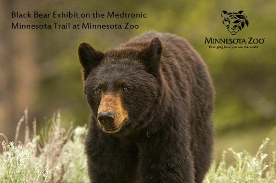 Minneapolis, MN: New Black Bear Exhibit on the Minnesota Trail