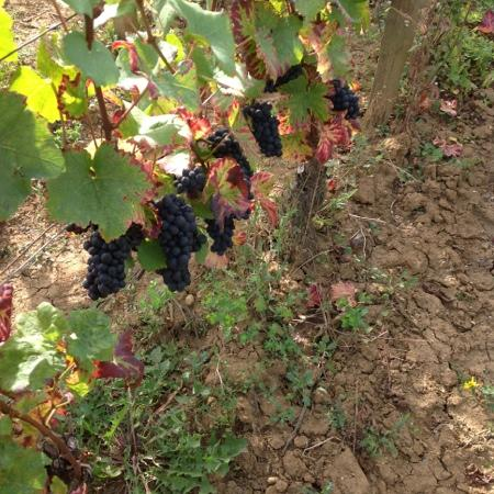 Chateau de Saulon: uvas pinot noir