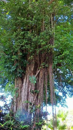 Hilo Seaside Hotel: Giant Banyan trees across the street