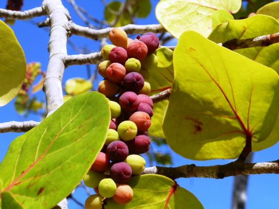 Couples Negril: ripened grapes