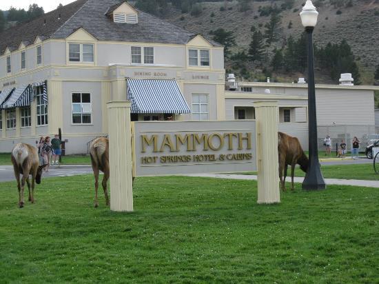 Mammoth Hot Springs Hotel & Cabins: Elk