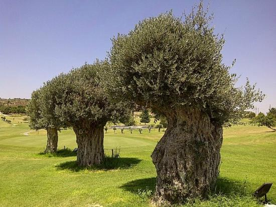 Minthis Hills Golf Club: Misthis Golf Course 500 year old olive trees.