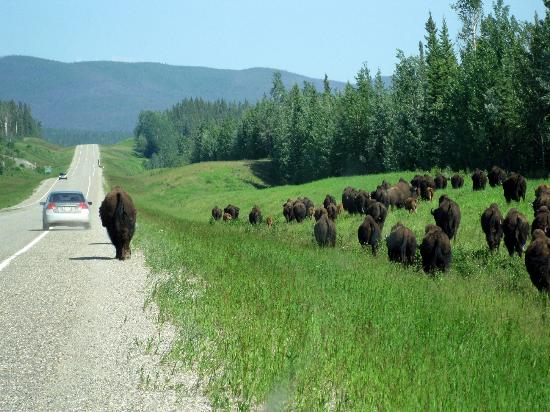 Bison on highway near BC/Yukon border - Alaska Highway