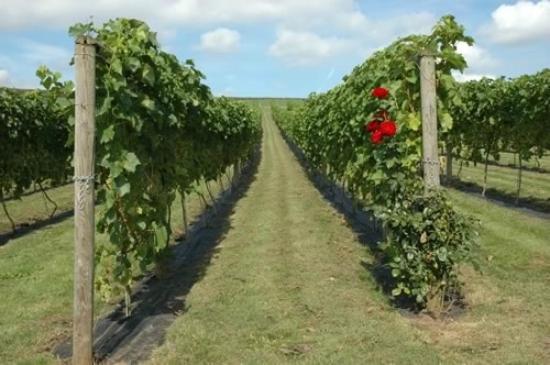 Pebblebed Vineyard: Pebblebed Ebford Vineyard