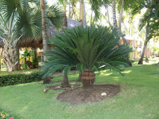 Iberostar Bavaro Suites: One of many trees.
