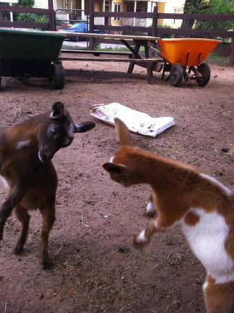 The Social Goat Bed & Breakfast: Dancing goats