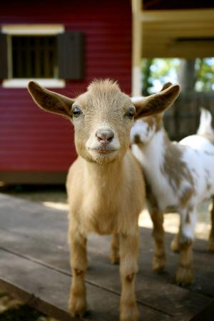 The Social Goat Bed & Breakfast: the social goat